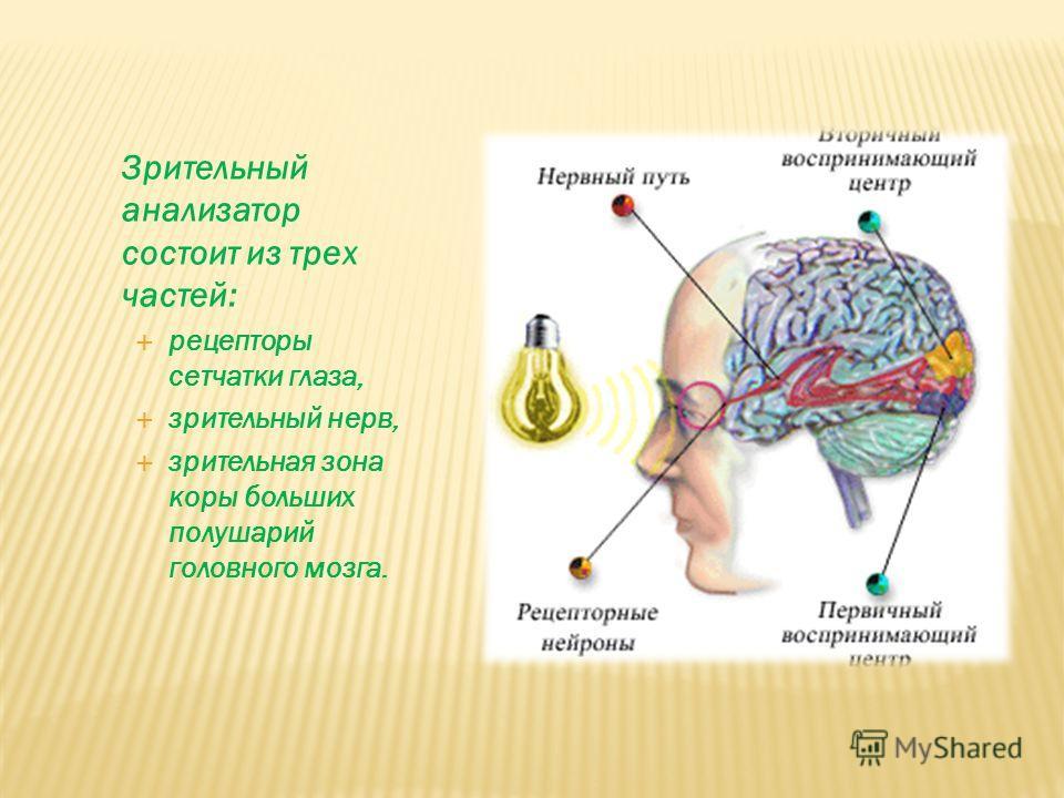 Зрительный анализатор состоит из трех частей: рецепторы сетчатки глаза, зрительный нерв, зрительная зона коры больших полушарий головного мозга.