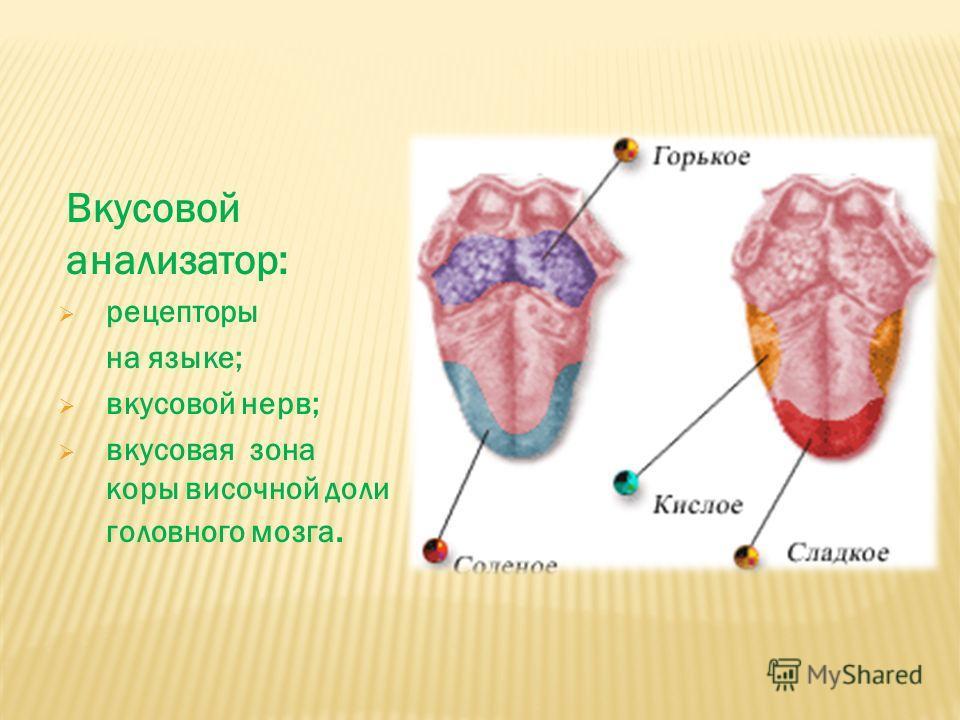 Вкусовой анализатор: рецепторы на языке; вкусовой нерв; вкусовая зона коры височной доли головного мозга.