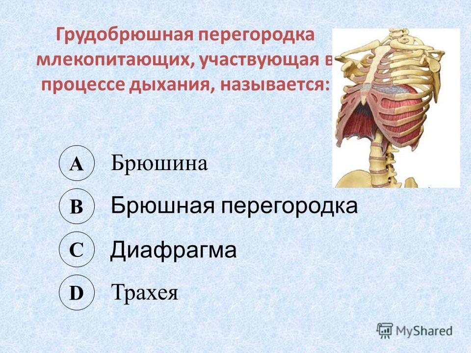Грудобрюшная перегородка млекопитающих, участвующая в процессе дыхания, называется: A Брюшина B Брюшная перегородка C Диафрагма D Трахея