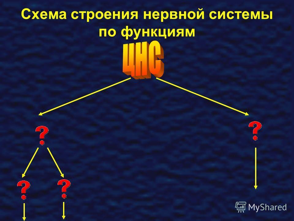 Схема строения нервной системы по функциям