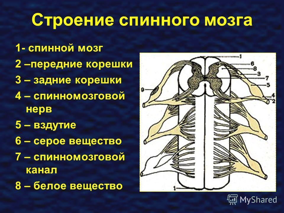 Строение спинного мозга 1- спинной мозг 2 –передние корешки 3 – задние корешки 4 – спинномозговой нерв 5 – вздутие 6 – серое вещество 7 – спинномозговой канал 8 – белое вещество