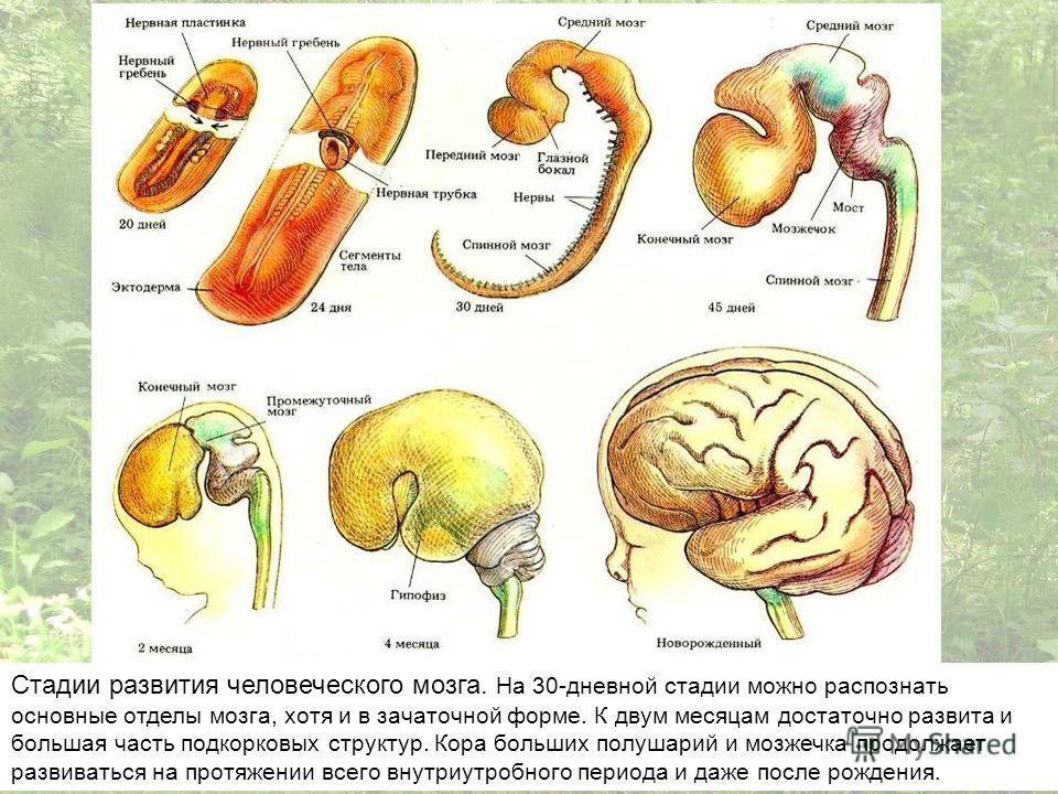 Стадии развития человеческого мозга. На 30-дневной стадии можно распознать основные отделы мозга, хотя и в зачаточной форме. К двум месяцам достаточно развита и большая часть подкорковых структур. Кора больших полушарий и мозжечка продолжает развиват