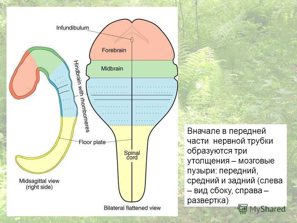 Вначале в передней части нервной трубки образуются три утолщения – мозговые пузыри: передний, средний и задний (слева – вид сбоку, справа – развертка)