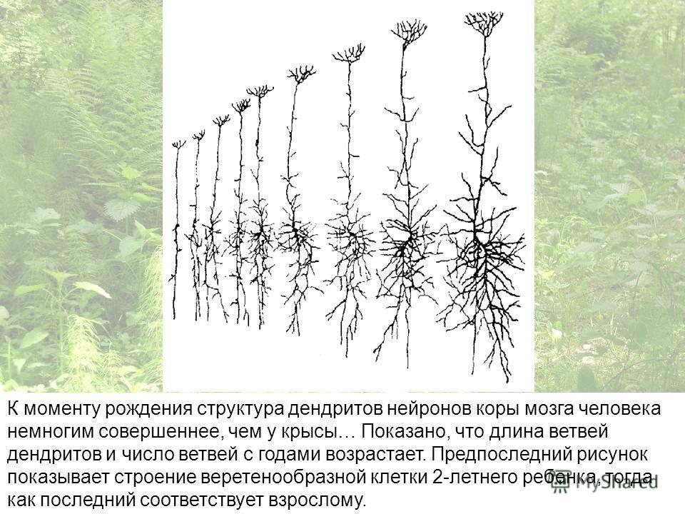 К моменту рождения структура дендритов нейронов коры мозга человека немногим совершеннее, чем у крысы… Показано, что длина ветвей дендритов и число ветвей с годами возрастает. Предпоследний рисунок показывает строение веретенообразной клетки 2-летнег