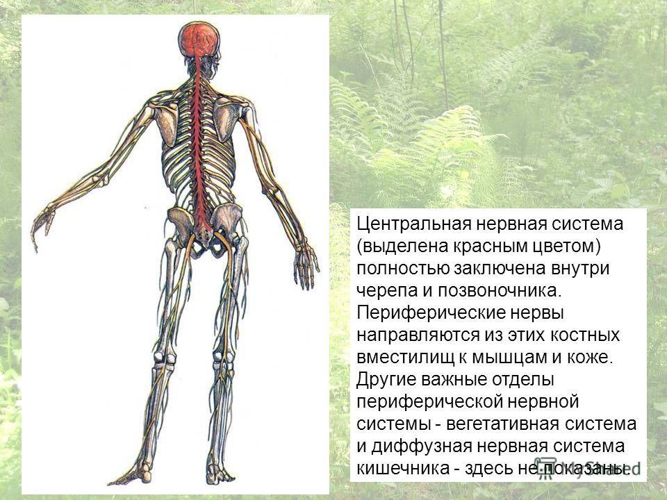 Центральная нервная система (выделена красным цветом) полностью заключена внутри черепа и позвоночника. Периферические нервы направляются из этих костных вместилищ к мышцам и коже. Другие важные отделы периферической нервной системы - вегетативная си