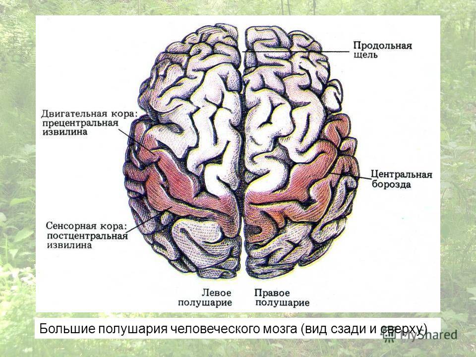 Большие полушария человеческого мозга (вид сзади и сверху)