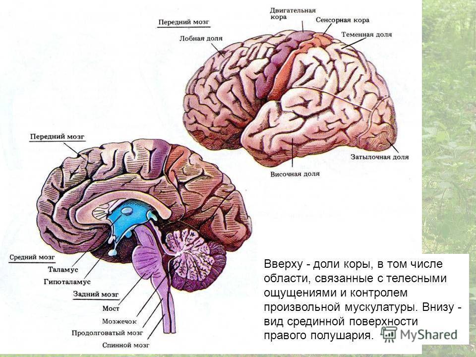 Вверху - доли коры, в том числе области, связанные с телесными ощущениями и контролем произвольной мускулатуры. Внизу - вид срединной поверхности правого полушария.