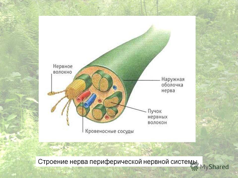 Строение нерва периферической нервной системы
