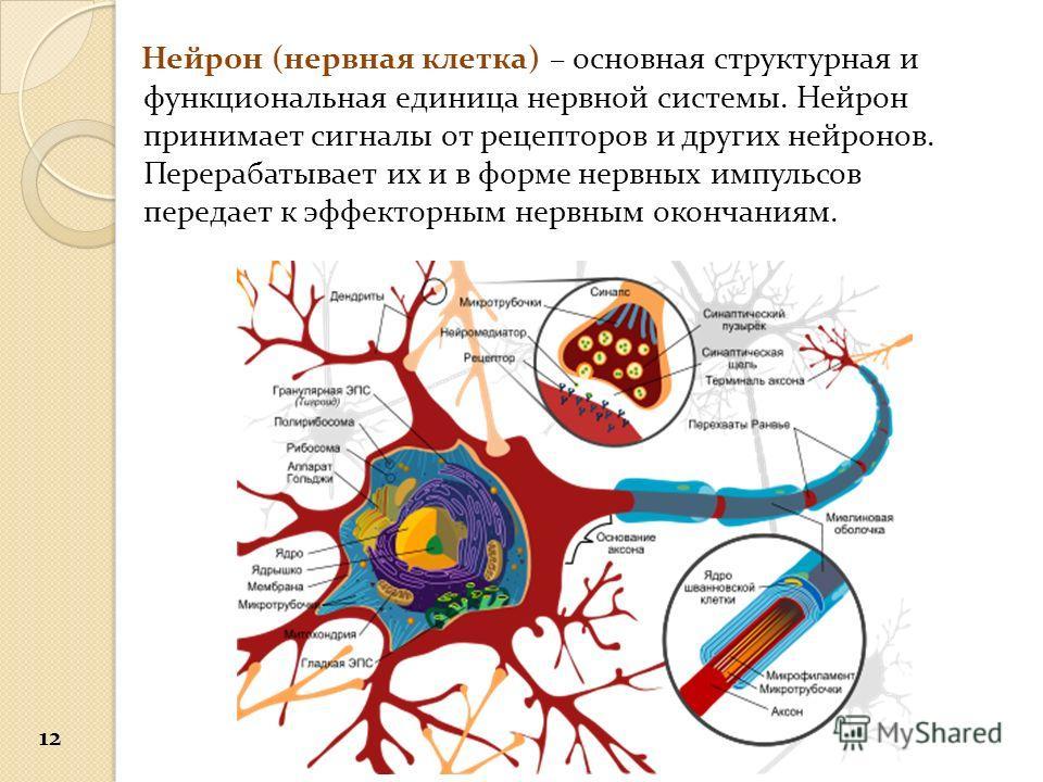 Нейрон (нервная клетка) – основная структурная и функциональная единица нервной системы. Нейрон принимает сигналы от рецепторов и других нейронов. Перерабатывает их и в форме нервных импульсов передает к эффекторным нервным окончаниям. 12