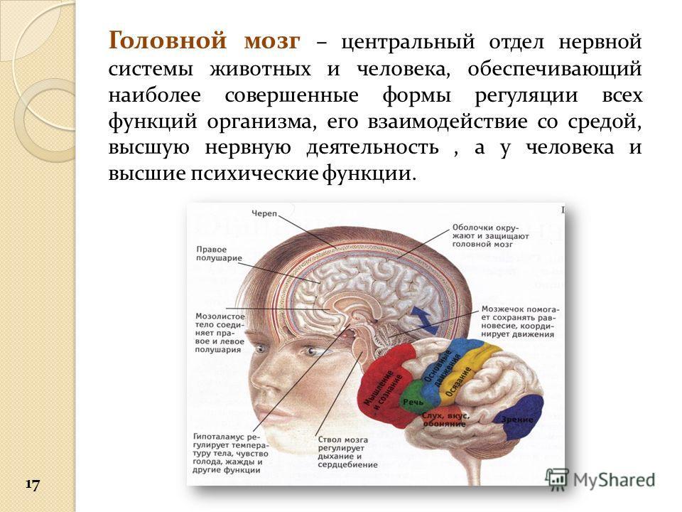 Головной мозг – центральный отдел нервной системы животных и человека, обеспечивающий наиболее совершенные формы регуляции всех функций организма, его взаимодействие со средой, высшую нервную деятельность, а у человека и высшие психические функции. 1