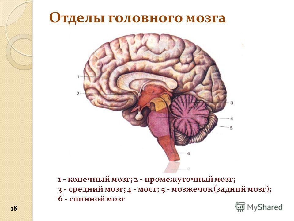Отделы головного мозга 1 - конечный мозг; 2 - промежуточный мозг; 3 - средний мозг; 4 - мост; 5 - мозжечок (задний мозг); 6 - спинной мозг 18