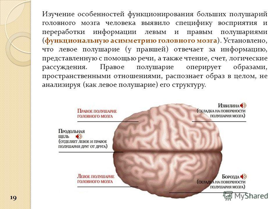 Изучение особенностей функционирования больших полушарий головного мозга человека выявило специфику восприятия и переработки информации левым и правым полушариями (функциональную асимметрию головного мозга). Установлено, что левое полушарие (у правше