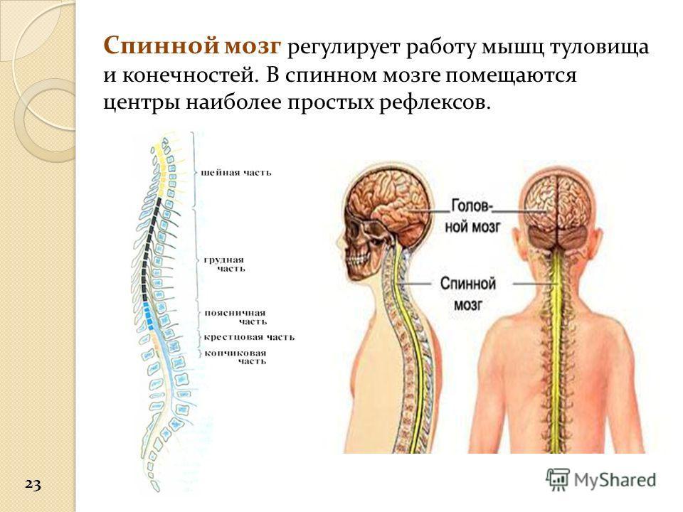 Спинной мозг регулирует работу мышц туловища и конечностей. В спинном мозге помещаются центры наиболее простых рефлексов. 23