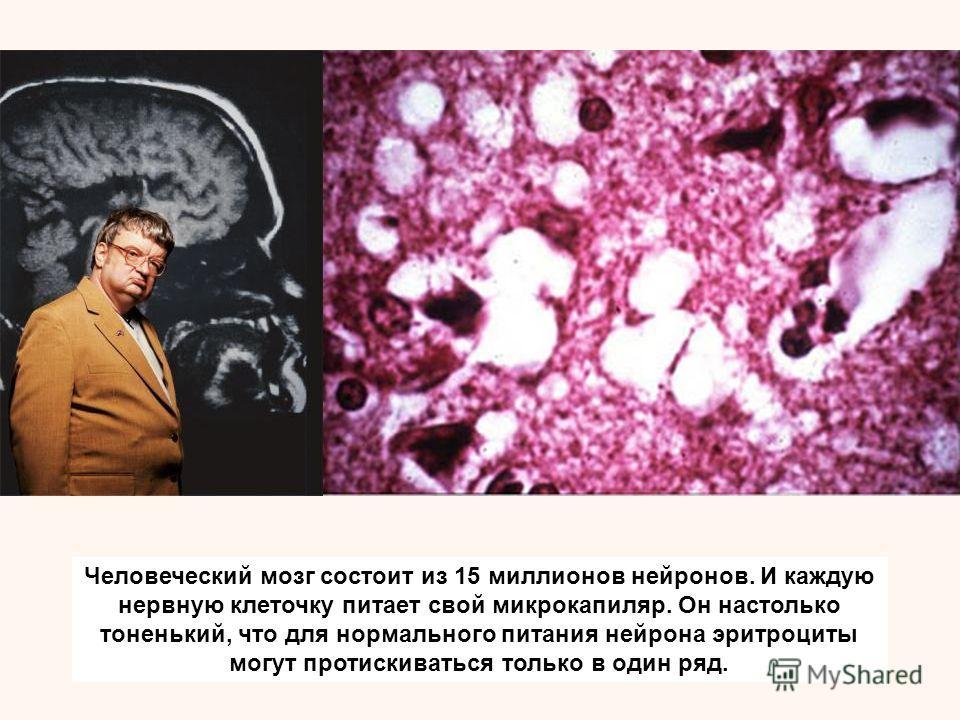 Человеческий мозг состоит из 15 миллионов нейронов. И каждую нервную клеточку питает свой микрокапиляр. Он настолько тоненький, что для нормального питания нейрона эритроциты могут протискиваться только в один ряд.