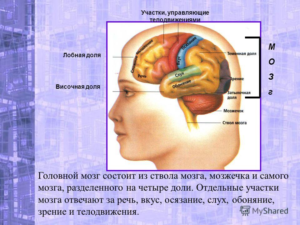 Головной мозг состоит из ствола мозга, мозжечка и самого мозга, разделенного на четыре доли. Отдельные участки мозга отвечают за речь, вкус, осязание, слух, обоняние, зрение и телодвижения. Лобная доля Височная доля МОЗгМОЗг Участки, управляющие тело