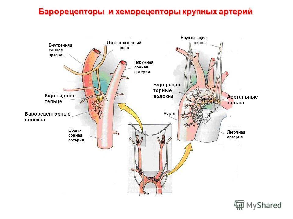 Легочная артерия Аорта Общая сонная артерия Внутренняя сонная артерия Языкоглоточный нерв Каротидное тельце Наружная сонная артерия Барорецеп- торные волокна Блуждающие нервы Аортальные тельца Барорецепторы и хеморецепторы крупных артерий Барорецепто