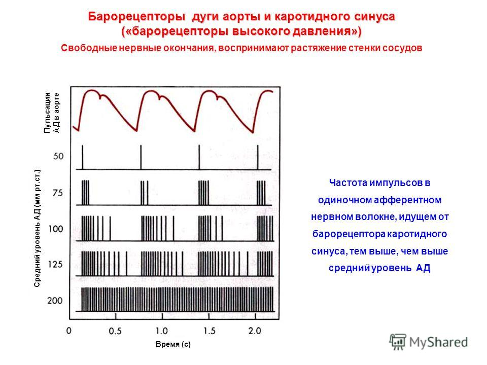 Частота импульсов в одиночном афферентном нервном волокне, идущем от барорецептора каротидного синуса, тем выше, чем выше средний уровень АД Барорецепторы дуги аорты и каротидного синуса («барорецепторы высокого давления») Свободные нервные окончания