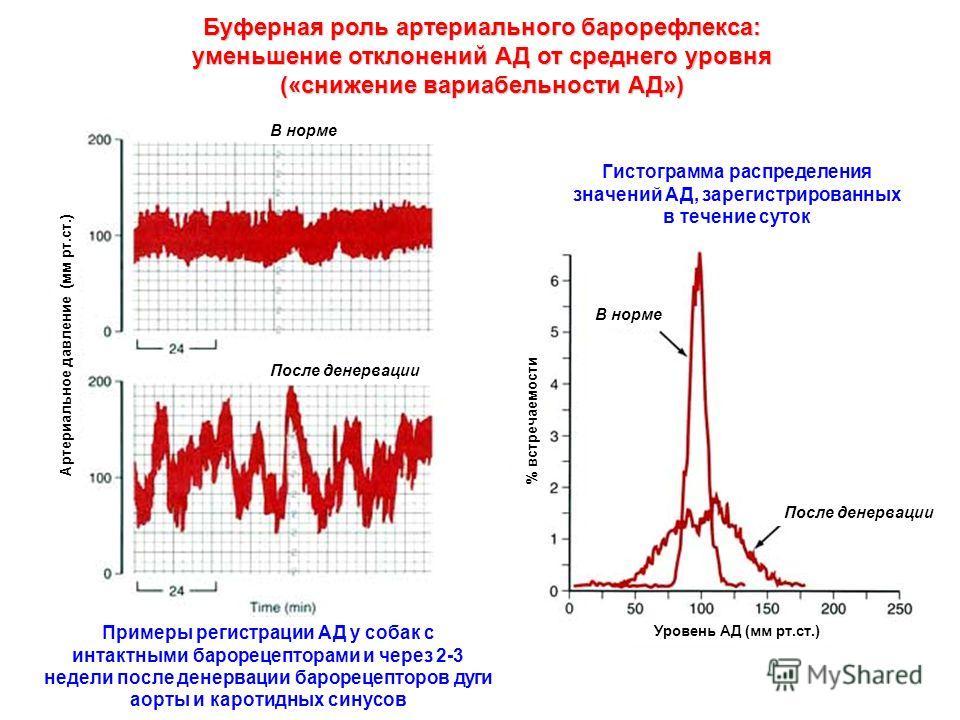 Буферная роль артериального барорефлекса: уменьшение отклонений АД от среднего уровня («снижение вариабельности АД») Примеры регистрации АД у собак с интактными барорецепторами и через 2-3 недели после денервации барорецепторов дуги аорты и каротидны
