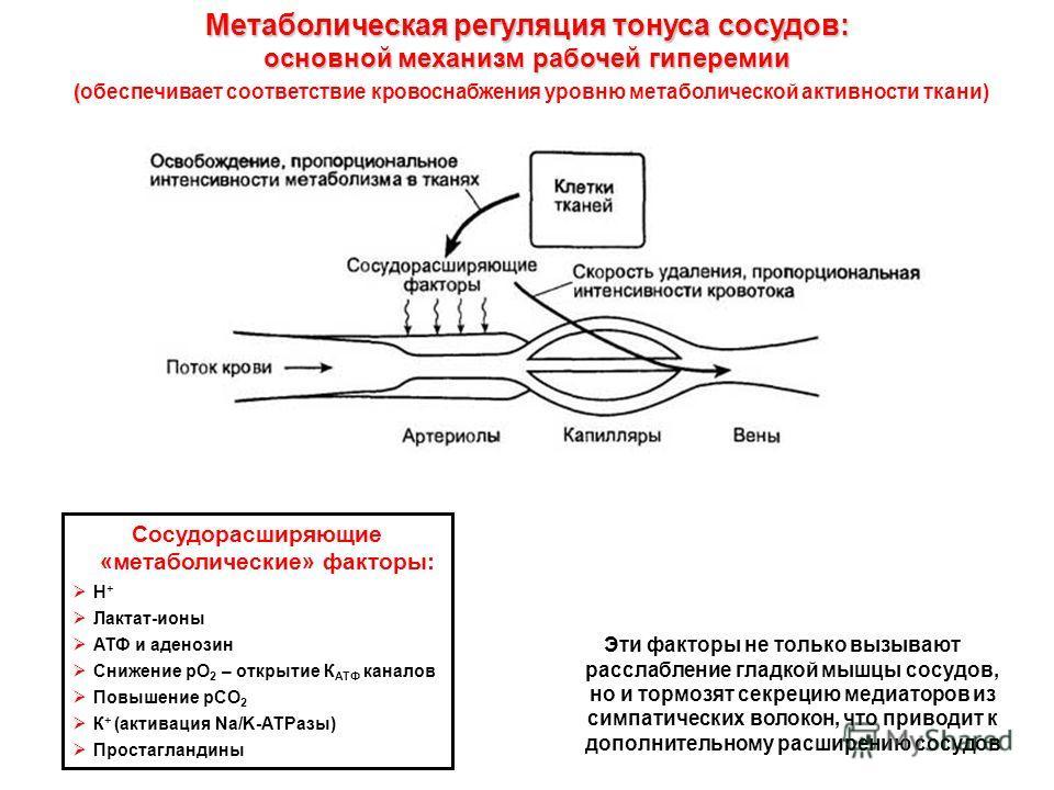 Метаболическая регуляция тонуса сосудов: основной механизм рабочей гиперемии ( (обеспечивает соответствие кровоснабжения уровню метаболической активности ткани) Сосудорасширяющие «метаболические» факторы: Н + Лактат-ионы АТФ и аденозин Снижение рО 2