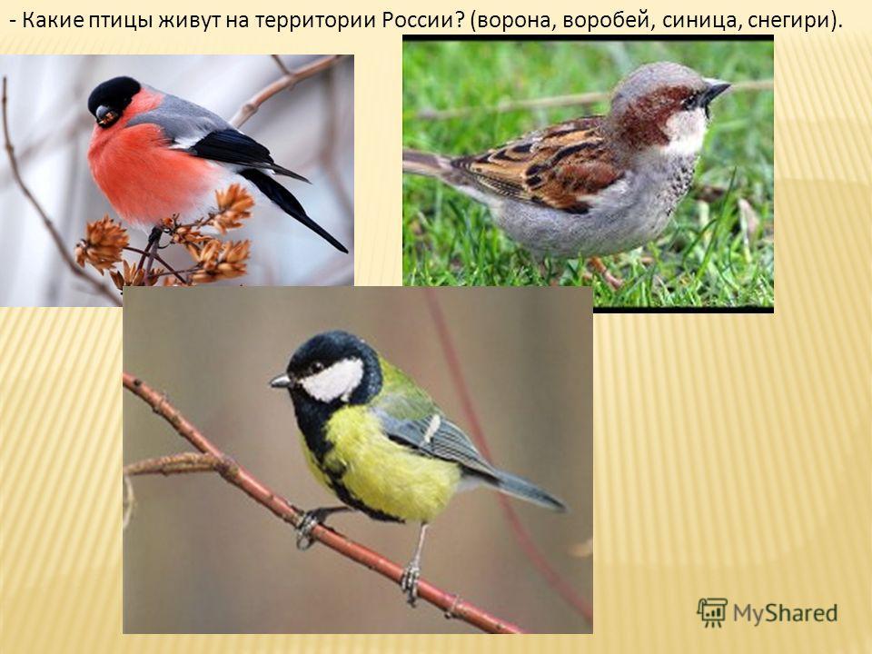 - Какие птицы живут на территории России? (ворона, воробей, синица, снегири).