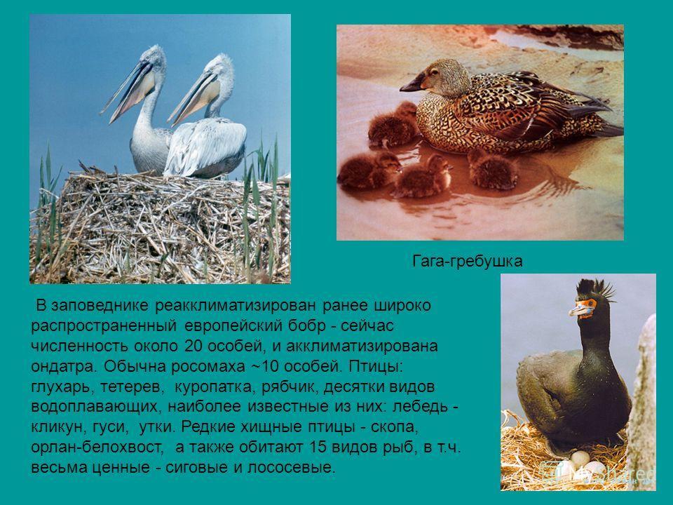 Гага-гребушка В заповеднике реакклиматизирован ранее широко распространенный европейский бобр - сейчас численность около 20 особей, и акклиматизирована ондатра. Обычна росомаха ~10 особей. Птицы: глухарь, тетерев, куропатка, рябчик, десятки видов вод