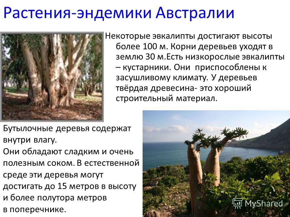 Растения-эндемики Австралии Некоторые эвкалипты достигают высоты более 100 м. Корни деревьев уходят в землю 30 м.Есть низкорослые эвкалипты – кустарники. Они приспособлены к засушливому климату. У деревьев твёрдая древесина- это хороший строительный
