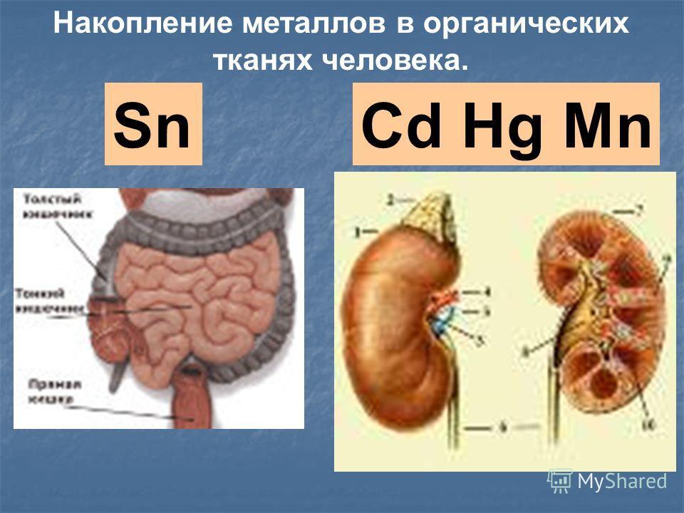 SnCd Hg Mn Накопление металлов в органических тканях человека.