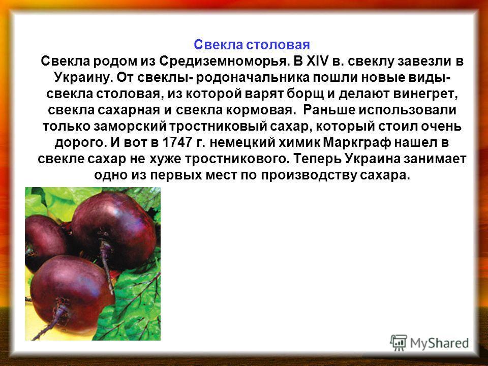 Свекла столовая Свекла родом из Средиземноморья. В XΙV в. свеклу завезли в Украину. От свеклы- родоначальника пошли новые виды- свекла столовая, из которой варят борщ и делают винегрет, свекла сахарная и свекла кормовая. Раньше использовали только за