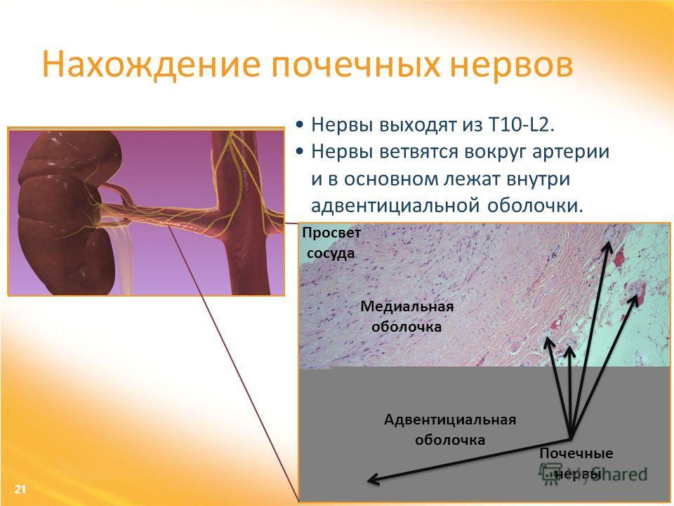 21 Нервы выходят из T10-L2. Нервы ветвятся вокруг артерии и в основном лежат внутри адвентициальной оболочки. Нахождение почечных нервов Просвет сосуда Медиальная оболочка Адвентициальная оболочка Почечные нервы