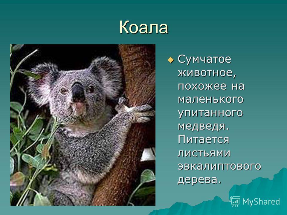 Коала Сумчатое животное, похожее на маленького упитанного медведя. Питается листьями эвкалиптового дерева.