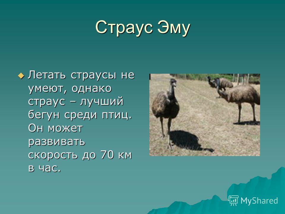 Страус Эму Летать страусы не умеют, однако страус – лучший бегун среди птиц. Он может развивать скорость до 70 км в час. Летать страусы не умеют, однако страус – лучший бегун среди птиц. Он может развивать скорость до 70 км в час.