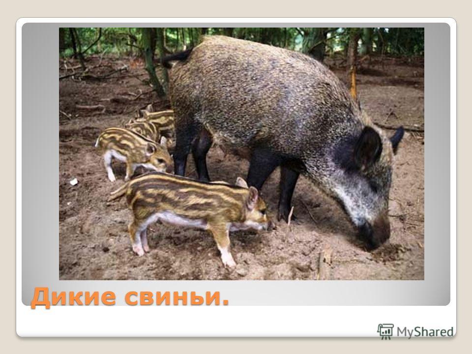Дикие свиньи.