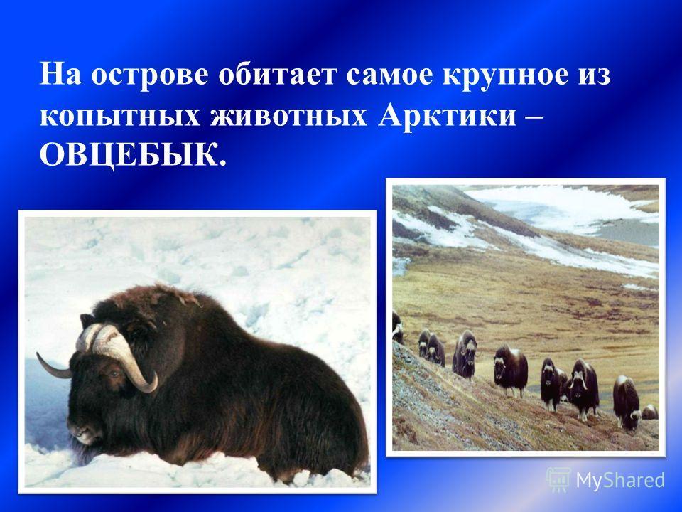 На острове обитает самое крупное из копытных животных Арктики – ОВЦЕБЫК.