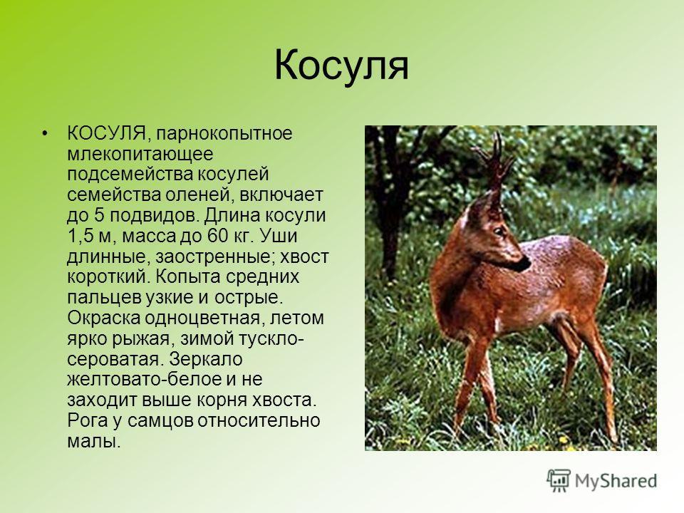Косуля КОСУЛЯ, парнокопытное млекопитающее подсемейства косулей семейства оленей, включает до 5 подвидов. Длина косули 1,5 м, масса до 60 кг. Уши длинные, заостренные; хвост короткий. Копыта средних пальцев узкие и острые. Окраска одноцветная, летом