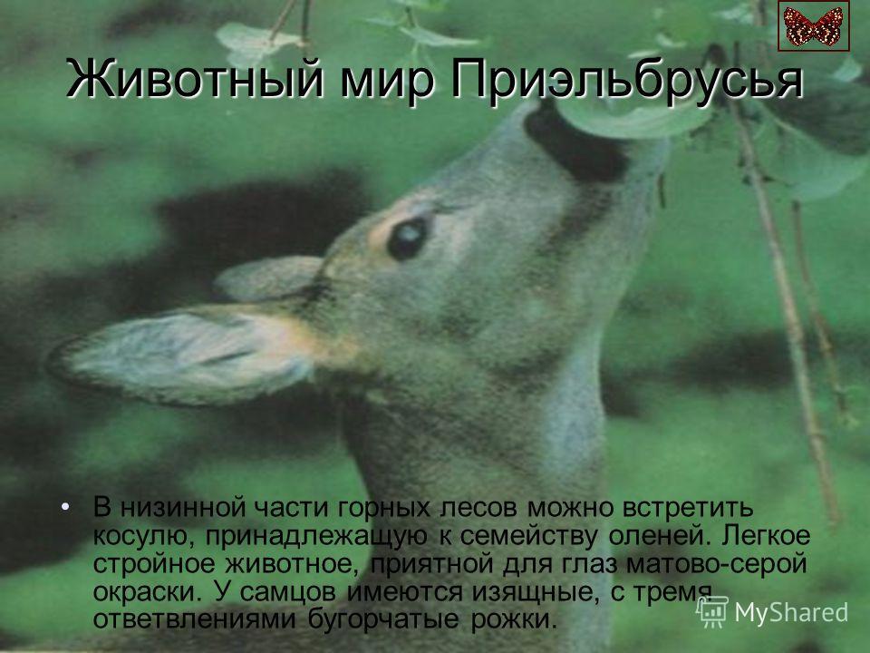 Животный мир Приэльбрусья В низинной части горных лесов можно встретить косулю, принадлежащую к семейству оленей. Легкое стройное животное, приятной для глаз матово-серой окраски. У самцов имеются изящные, с тремя ответвлениями бугорчатые рожки.
