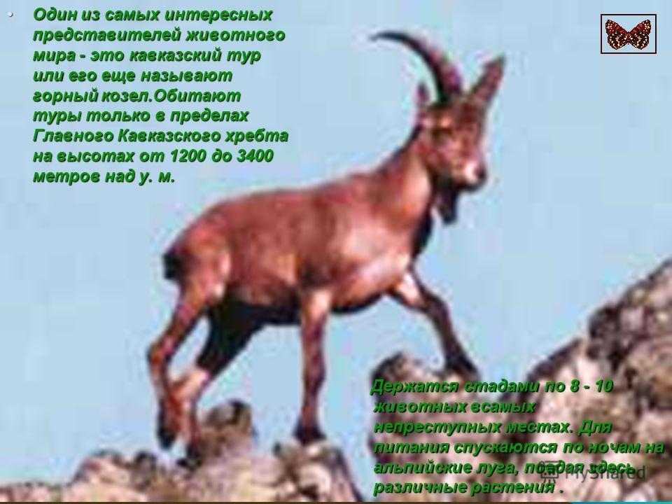 Один из самых интересных представителей животного мира - это кавказский тур или его еще называют горный козел.Обитают туры только в пределах Главного Кавказского хребта на высотах от 1200 до 3400 метров над у. м.Один из самых интересных представителе