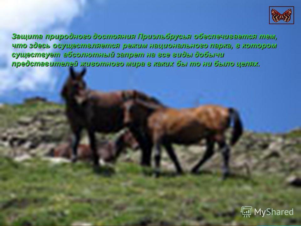 Защита природного достояния Приэльбрусья обеспечивается тем, что здесь осуществляется режим национального парка, в котором существует абсолютный запрет на все виды добычи представителей животного мира в каких бы то ни было целях.