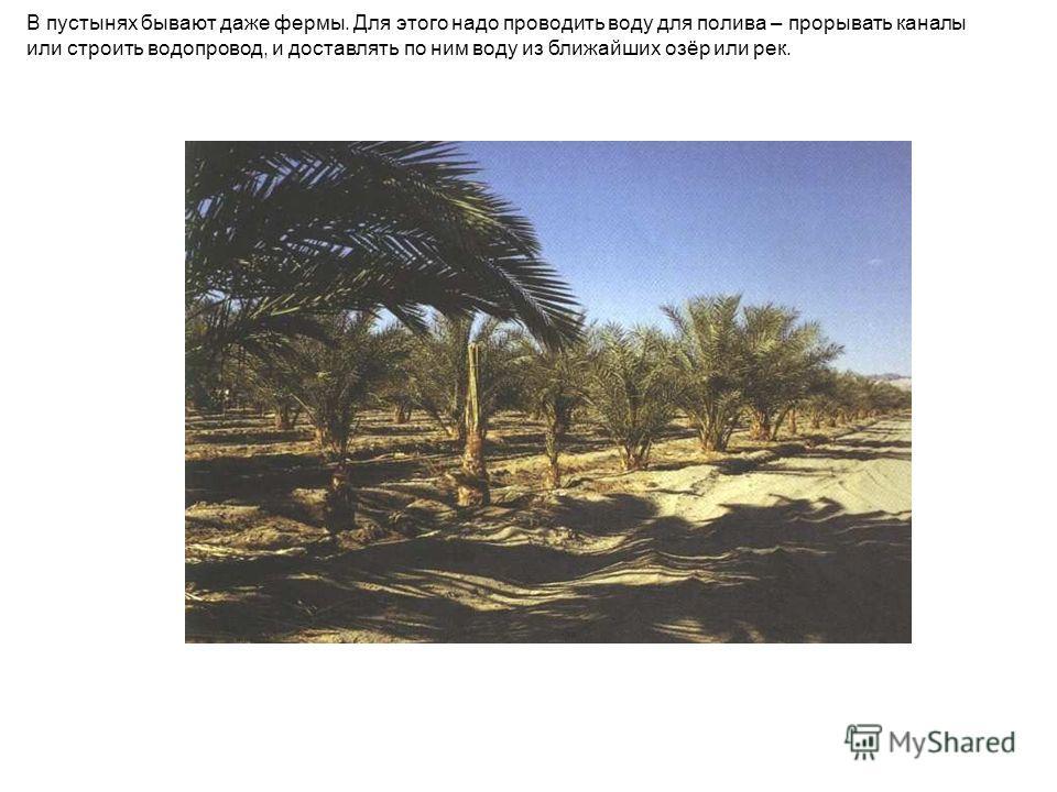 В пустынях бывают даже фермы. Для этого надо проводить воду для полива – прорывать каналы или строить водопровод, и доставлять по ним воду из ближайших озёр или рек.