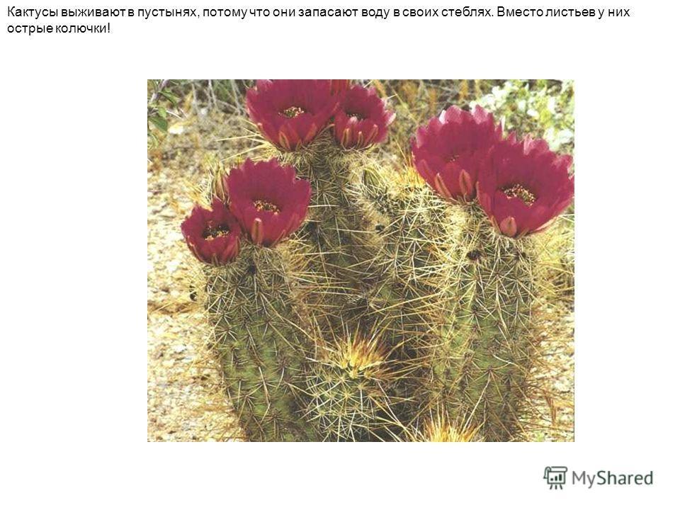Кактусы выживают в пустынях, потому что они запасают воду в своих стеблях. Вместо листьев у них острые колючки!