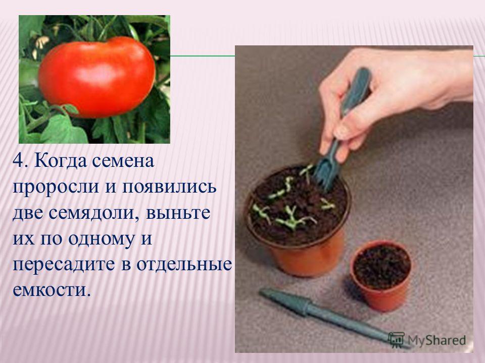 4. Когда семена проросли и появились две семядоли, выньте их по одному и пересадите в отдельные емкости.