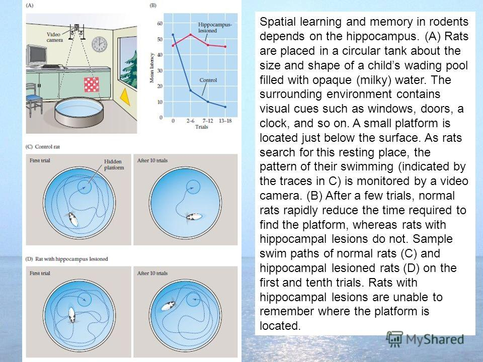 Spatial learning and memory in rodents depends on the hippocampus. (A) Rats are placed in a circular tank about the size and shape of a childs wading pool filled with opaque (milky) water. The surrounding environment contains visual cues such as wind