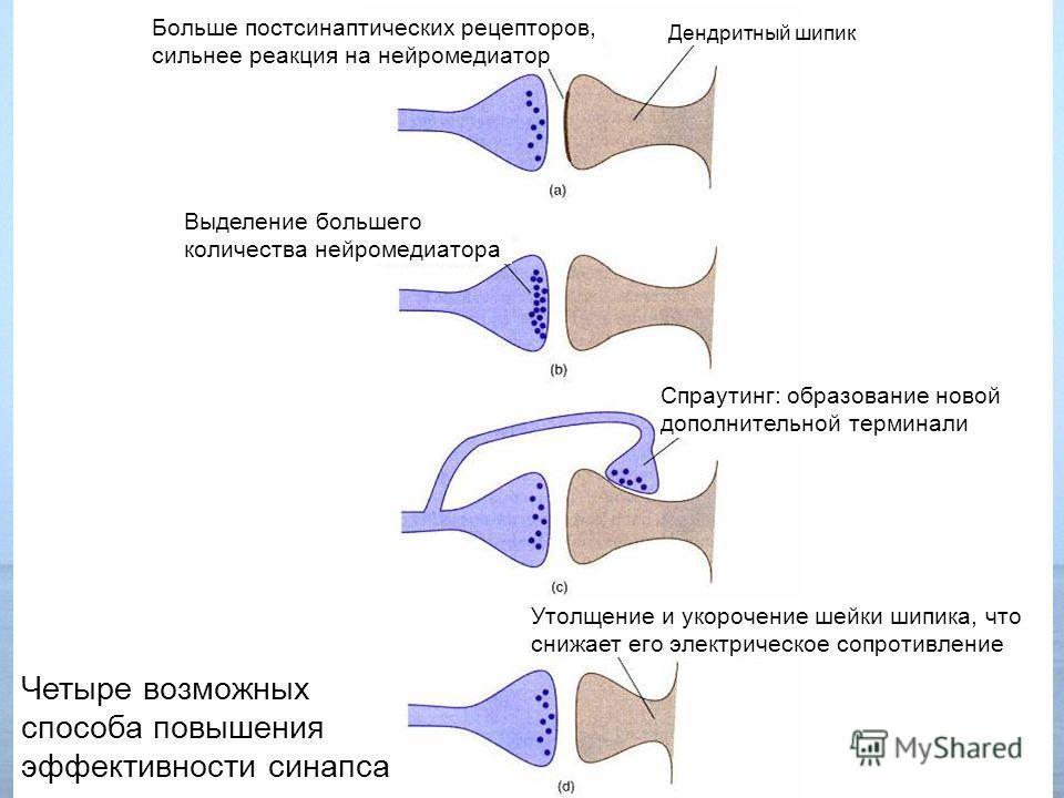 Утолщение и укорочение шейки шипика, что снижает его электрическое сопротивление Больше постсинаптических рецепторов, сильнее реакция на нейромедиатор Дендритный шипик Выделение большего количества нейромедиатора Спраутинг: образование новой дополнит