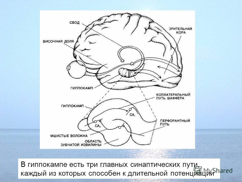 В гиппокампе есть три главных синаптических пути, каждый из которых способен к длительной потенциации