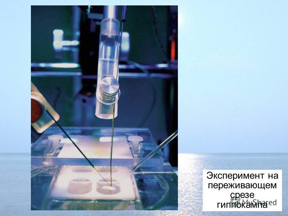 Эксперимент на переживающем срезе гиппокампа