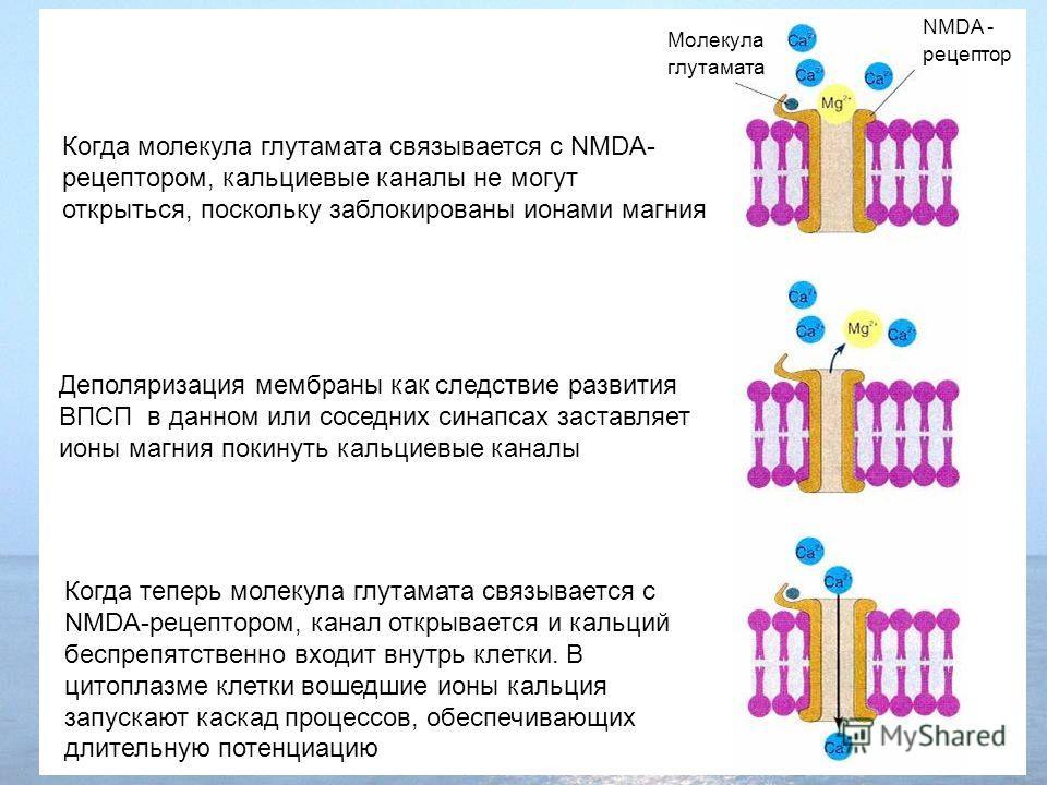 Когда молекула глутамата связывается с NMDA- рецептором, кальциевые каналы не могут открыться, поскольку заблокированы ионами магния NMDA - рецептор Молекула глутамата Деполяризация мембраны как следствие развития ВПСП в данном или соседних синапсах
