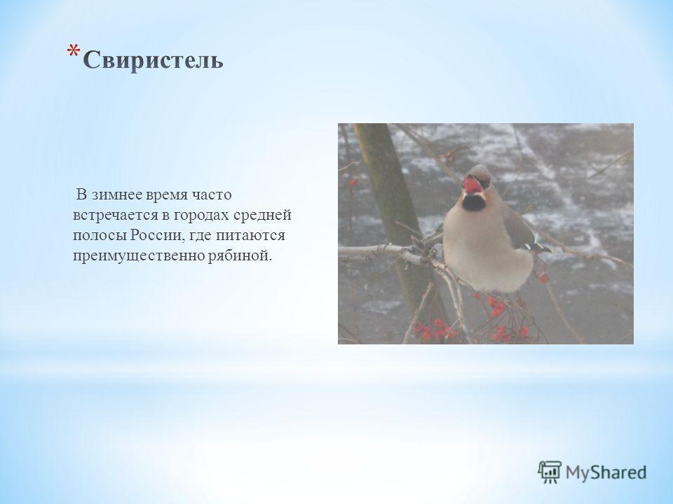 В зимнее время часто встречается в городах средней полосы России, где питаются преимущественно рябиной.