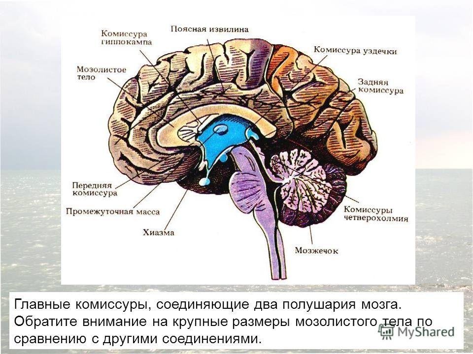 Главные комиссуры, соединяющие два полушария мозга. Обратите внимание на крупные размеры мозолистого тела по сравнению с другими соединениями.