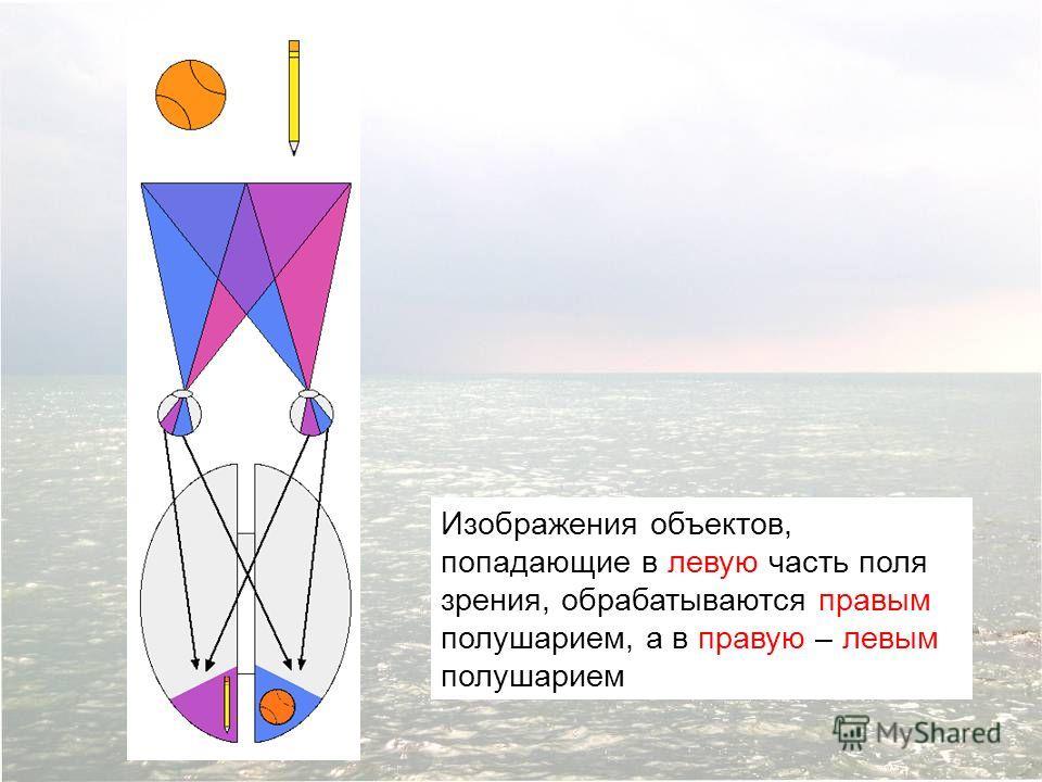 Изображения объектов, попадающие в левую часть поля зрения, обрабатываются правым полушарием, а в правую – левым полушарием