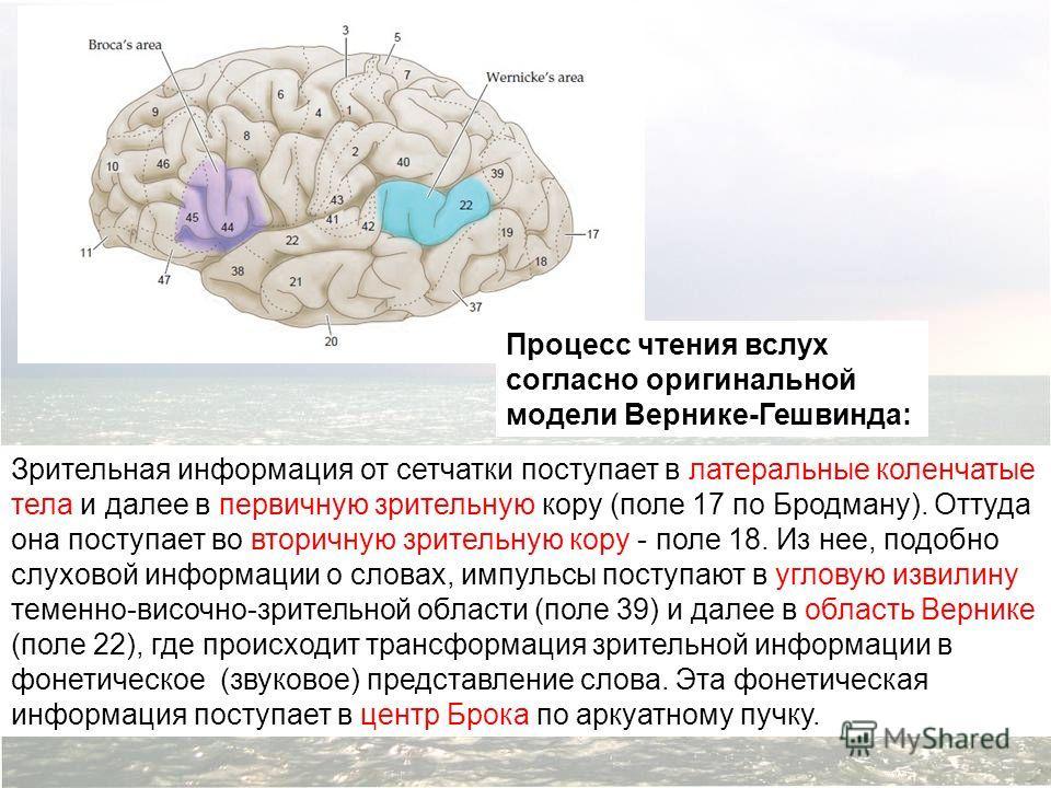 Зрительная информация от сетчатки поступает в латеральные коленчатые тела и далее в первичную зрительную кору (поле 17 по Бродману). Оттуда она поступает во вторичную зрительную кору - поле 18. Из нее, подобно слуховой информации о словах, импульсы п