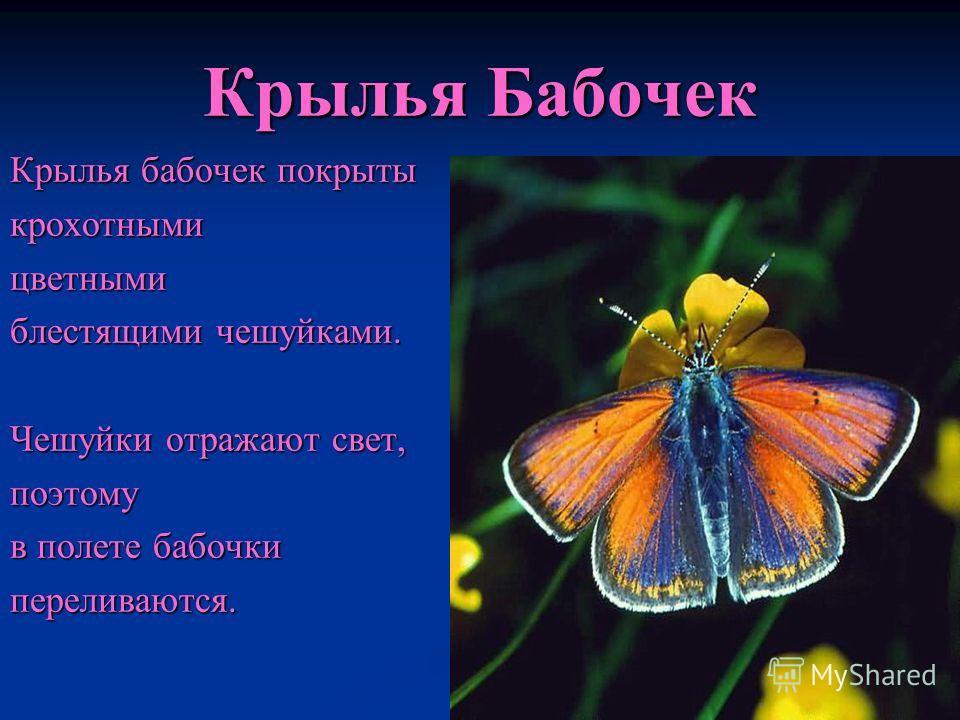 Крылья Бабочек Крылья бабочек покрыты крохотнымицветными блестящими чешуйками. Чешуйки отражают свет, поэтому в полете бабочки переливаются.
